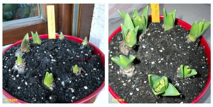Hyacinth 'Pink Pearl' Usia 3 dan 4 Bulan
