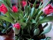Tulip Darwin Hybrid warna merah muda.