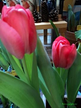 Tulip Darwin Hybrid warna merah muda