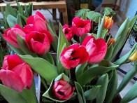 Tulip Triumph 6 bibit. Tinggi 45 cm warna campuran Kuning & Orange.Tanam di Bagian Kanan Belakang.