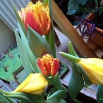 Tulip Triumph 6 bibit. Tinggi 45 cm. Warna campuran Kuning & Orange. Tanam di Bagian Kanan Belakang