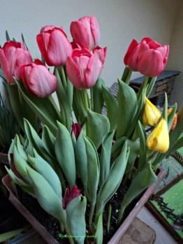 Tulip Kombinasi