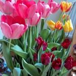 Memotret Bunga Tulip
