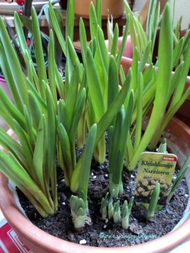 Grape Hyacinth M