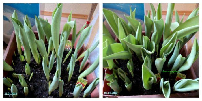 Terlihat Pertumbuhan yang Luar Biasa. Tulip Semakin Tumbuh Besar