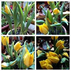 Tulip Yokohama Bunganya sudah Ramai yaa