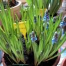 Cantik ya Blue Grape Hyacinth