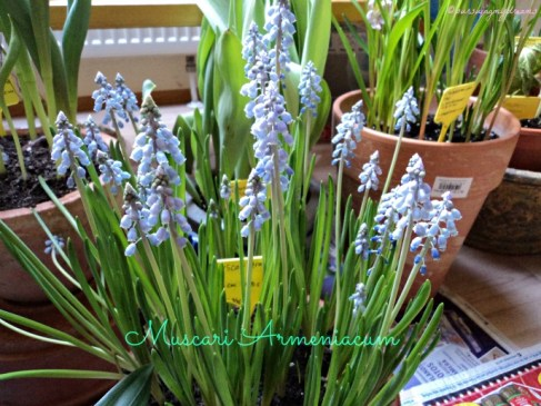 Beautiful Muscari Armeniacum