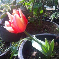 Tulip Milik Lea di Dieng