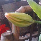 Tulipnya Hampir Mekar