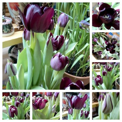 Tulip hitam yang mempesona. Beautiful Black Tulips Flower. 12.02.2013