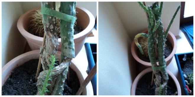 Kaktus ini Pemberian Pasien suamiku. Tragis nasibnya