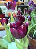 Tulip Hitam membutuhkan paparan sinar matahari penuh atau parsial