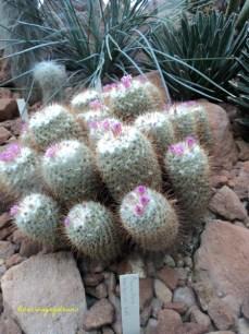 Nama Katus ini Mammillaria. Saya punya dirumah Ooo ada bunganya toh