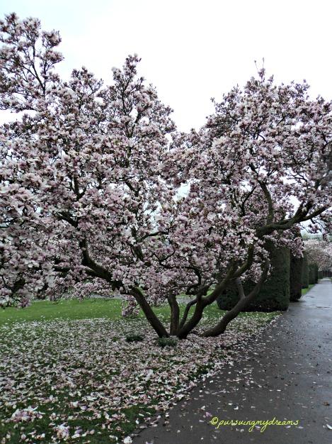 Pohon Magnolia × soulangeana warna pink. Jalan-jalan ke Wilhelma Stuttgart Bagian 3