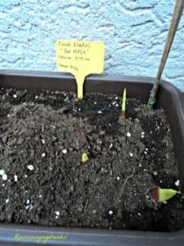 ibit Bunga Gladiol Far West Tanam 10 April dalam 8 hari sudah Tumbuh