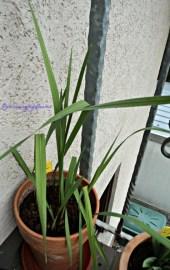 Gladiol Warna Campuran. Akan berbunga Bulan Juni-Juli. Foto 18 April 2013