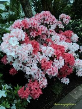 Spesies Azalea Asia memiliki daun yang hijau sepanjang tahun