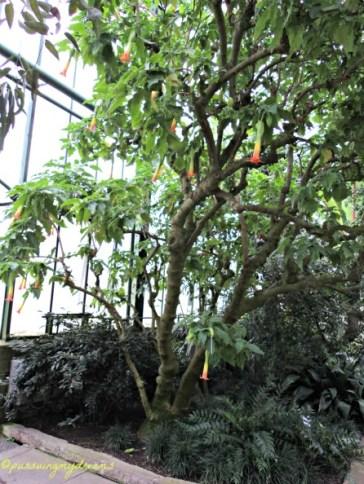 Pohon bunga Terompet