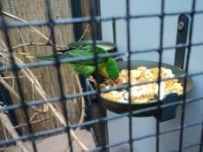 Lorikeet (Charmosyna placentis) adalah spesies burung beo dalam keluarga Psittaculidae. Ditemukan di Indonesia dan Papua Nugini