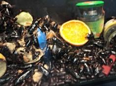 Madagascar hissing cockroach (Gromphadorhina portentosa) Dalam penangkaran, serangga ini dapat hidup 5 tahun