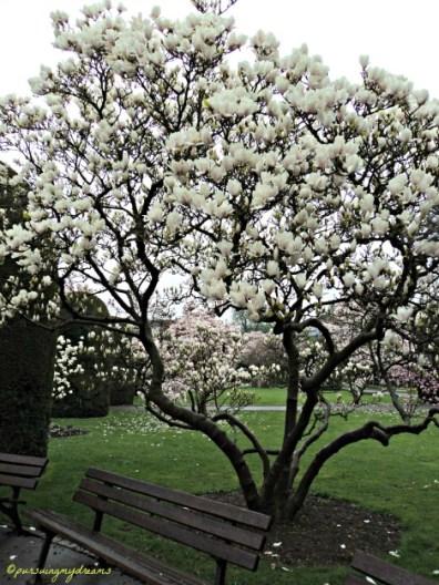 Tulpen Magnolie dengan bunga-bunga cantik Berwarna Putih