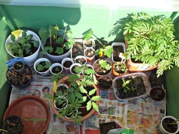 Green house kecil isinya pembibitan masih kecil taruh disini supaya tidak kedinginan