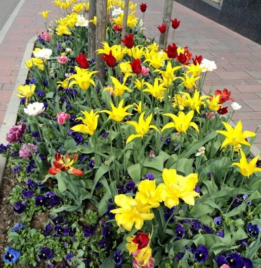 Tulip Bermekaran di Taman Kota