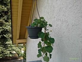 Pot Gantung ini saya Tanami Beberapa jenis Bunga, yang sudah mulai tumbuh pesat namanya Tropaeolum Minus, sebenarnya untuk tanaman merambat tapi iseng saya tanam di pot gantung