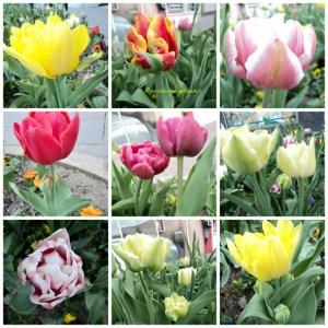 Tulip Double mix Semakin Mekar