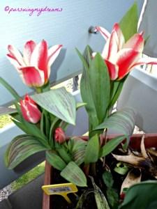 Sudah mau Habis Masanya Tulip, dapat yang diskonan cihuyy  Tulip Pinokia Merah Putih