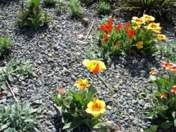Tulip di Taman Jerman
