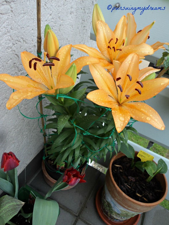 Best Photo of Asiatic Lilien. 27 April 2013