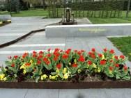Tulip-tulip Ukuran Kecil ada yang sudah Bermekaran