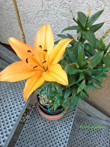 Bunga Lili Asiatic