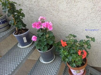 3 Pot Geranium yang berdiri, kalau di balkon Belakang tadi yang Geranium khusus di gantung