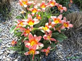 Tulip Warna Kombinasi