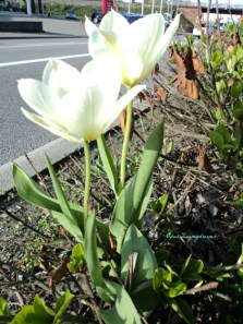 Tulip Putih di Depan Pom Bensin