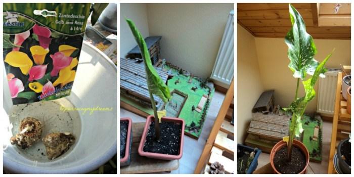 Foto kiri: Rendam umbinya sebelum penanaman. Tanam 7 April. Foto Tengah, daun pertama mulai membuka pada 27 April 2013. Foto Kanan pada 9 Mei 2013, tingginya sudah 85 cm.