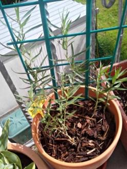 Gypsophila paniculata (baby's breath) 9 Mei 2013