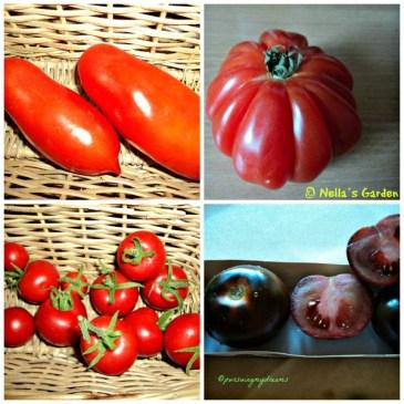 Tomat Lonjong, sebelahnya Tomat Daging beli di Perancis, bawahnya Tomat warna Cokelat baru beli; Sebelahnya coctail Tomat, Tanam bibitnya yukk
