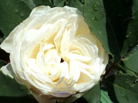 So beautiful Edelrose virgo