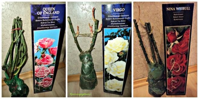 Beli 3 Macam tanaman Mawar