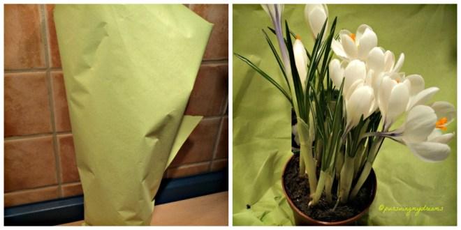 Bunga Krokus Putih cantik sekali