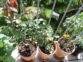 3 Macam Mawar per 2 Juni, yang Queen of England belum nampak Pertumbuhan yang singnifikan, yg 2 lagi sudah ada bakal bunganya