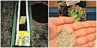 Foto kiri itu foto tahun lalu 2012 Baby leaf (Eruca Sativa). Foto Kanan Bentuk Benih Lettuce (Lactuca Sativa). Kedua benih saya tanam lagi Juni 2013