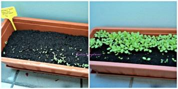 Kiri Tanam 2 macam Salad pada 5 Juni 2013, dalam 3-4 hari mulai pada Tumbuh