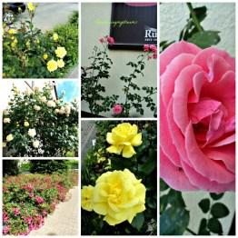 Bunga-bunga Mawar di Jalanan