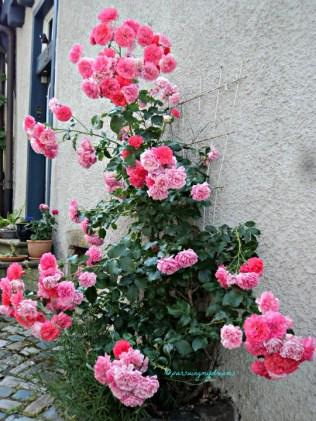 Ohh Indahnya. Saya benar-benar suka warna Mawar ini. Mawar Pink merambat