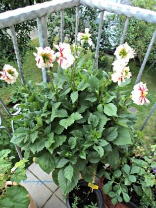 My lovely santa claus dahlia